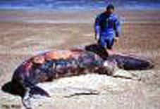 Orca contaminada por PCB - 17.2 KB