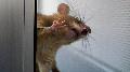 'Reality show' en el laboratorio: siga en directo el efecto de los trasg�nicos en ratones