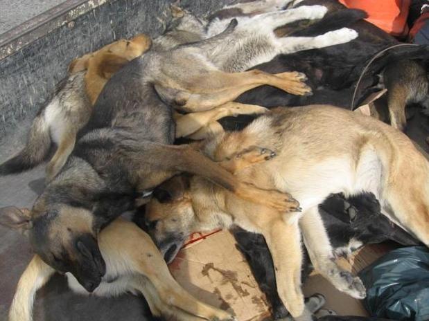 Matanza de perros de...