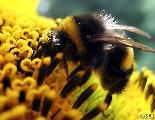 Monsanto compra compa��a que investiga la desaparici�n de abejas por pesticidas