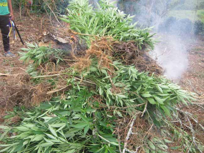 Canoas: Minga de Control Territorial para limpiar el territorio de los cultivos de uso ilícito