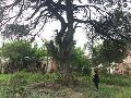 Barrio Mapic: originarios piden que �no se maten� �rboles centenarios