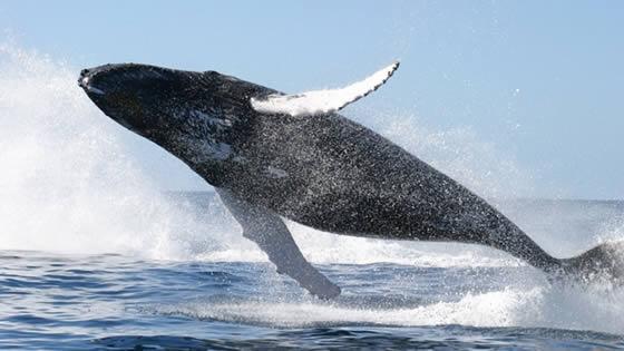 Una ballena murió en...